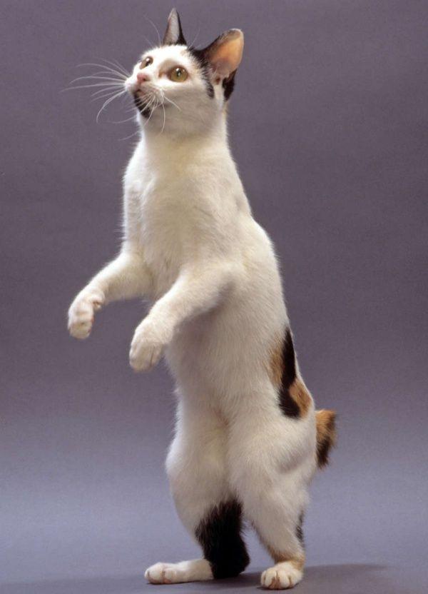 10 Short Tail Cat Breeds Around The World – Katzenrassen / catbreeds