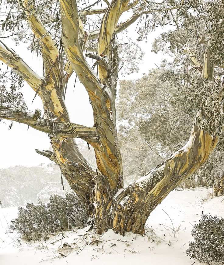 Snow Gums in winter