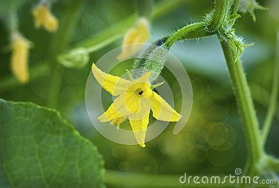 Flowering cucumber, it is now bright yellow, which attracts insects.