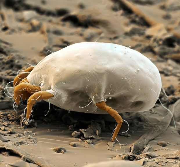 Coloured scanning electron micrograph of a house dust mite (Dermatophagoides pteronyssinus). Millions of dust mites inhabit the home, feeding on shed skin cells. They mainly live in furniture, and are usually harmless. However, their excrement and dead bodies may cause allergic reactions in susceptible people.