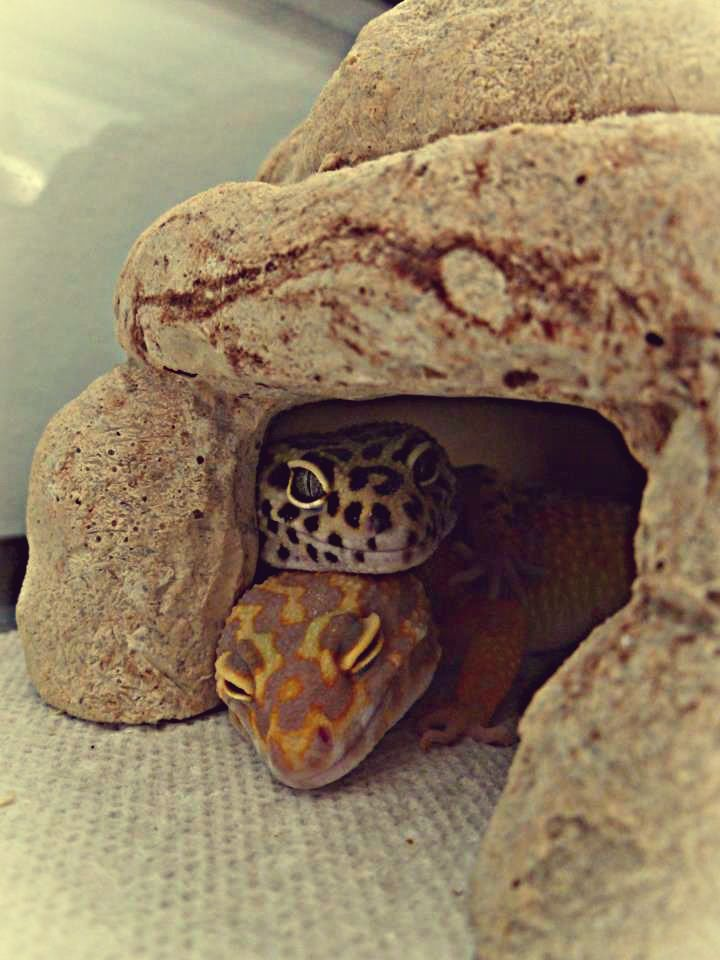 Leopard gecko cuddles, omg. just shows how lovable they are.