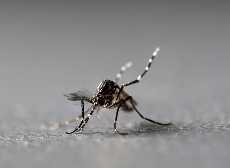 """If scientists have their way, soon controlling mosquitoesthat transmit diseaseslike Zika, dengue and chikungunya through a pioneering method using the nuclear-based sterile insect technique (SIT) would be possible.  The SIT is a type of """"birth control"""" wherein wild female insects of the pest"""