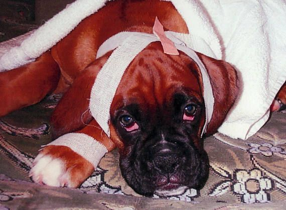 BOXER DOG Image JPEG & Pdf for Greetings Cards Prints Etc.