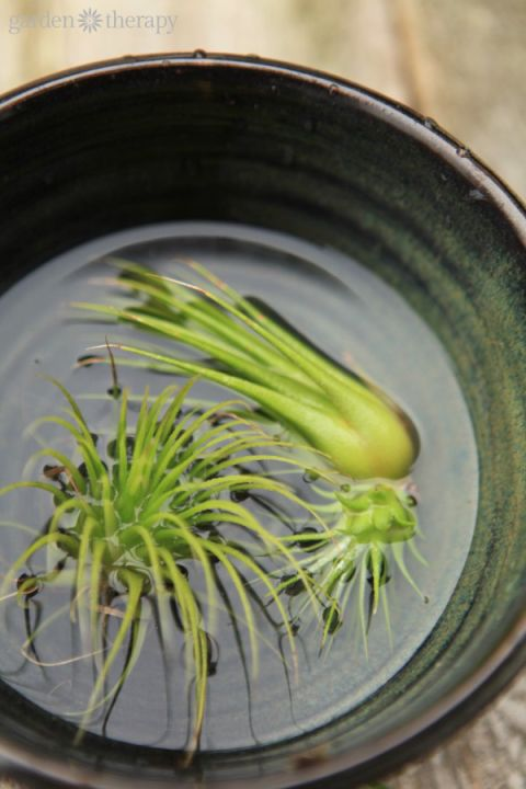 The Proper way to water air plants                                                                                                                                                     More