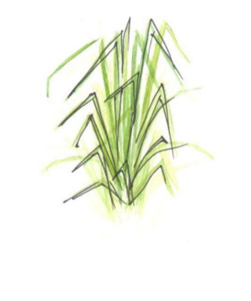 Эфирное масло ВетиверВетивер благотворно действует на раздраженную и увядающую кожу. Омолаживает и придает эластичность благодаря своим противовоспалительным и регенерирующим свойствам.