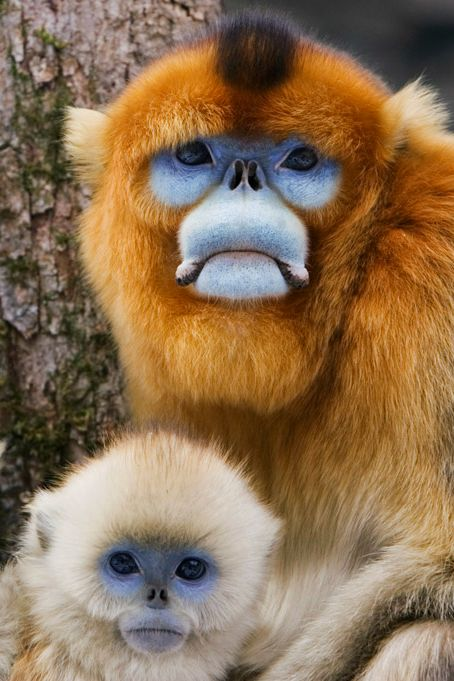 MY GOD this color combo is INSANE.  Golden Monkeys by Jeremy Woodhouse
