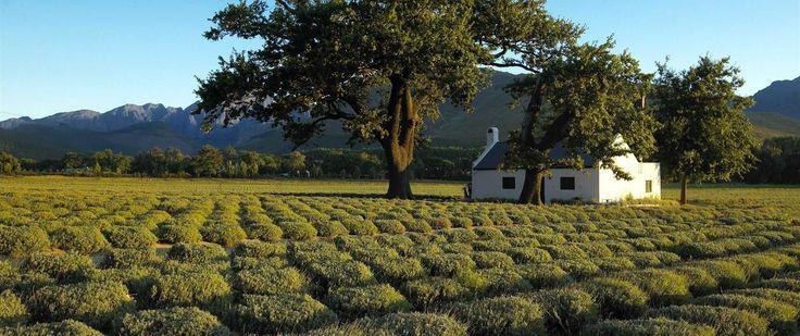 Franschhoek Valley lavender