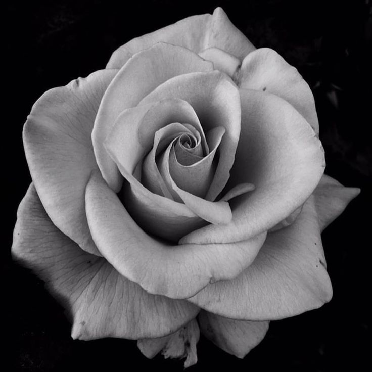 218 Best images about rose on Pinterest | Vintage roses ...