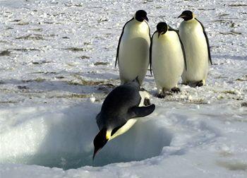 pingüinos: caracteristicas de los pingüinos