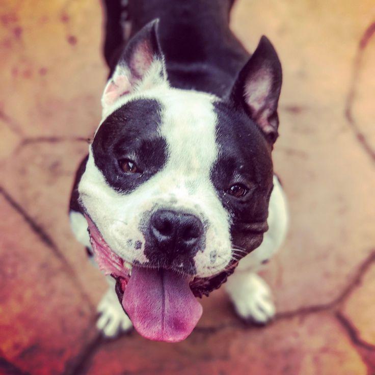 American Boston Bull Terrier dog for Adoption in Denton, TX. ADN-532326 on PuppyFinder.com Gender: Male. Age: Adult