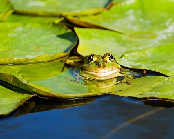 Rana Rana Del Agua Frog Pond Ranas Hojas Verdes Sapos Y Ranas