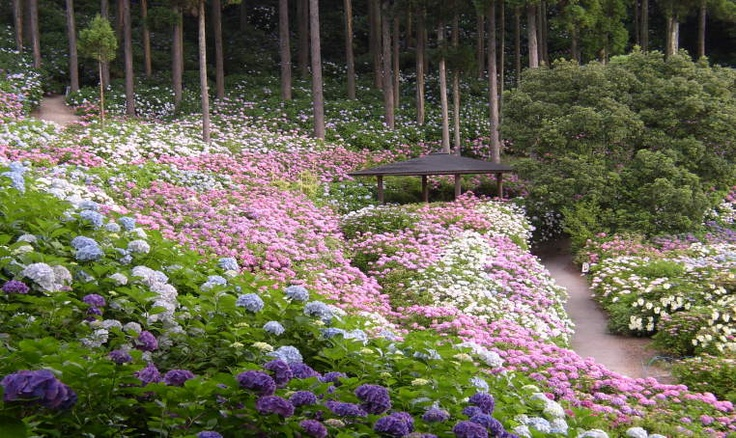 hydrangea garden , Chiba