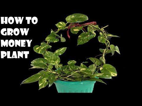 how to grow money plant/money plant growing ideas/ money plant /organic garden -… – Jardinería