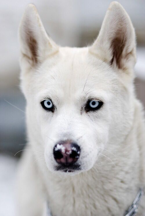 WolfLuxury