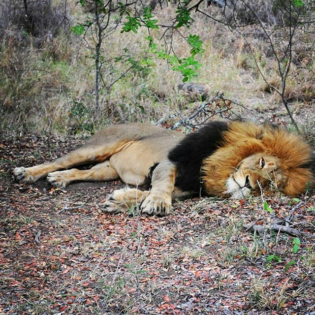 GVI wildlife conservation volunteer @beamaia92 captured this beautiful photo.  #gvi #volunteer #southafrica #lion