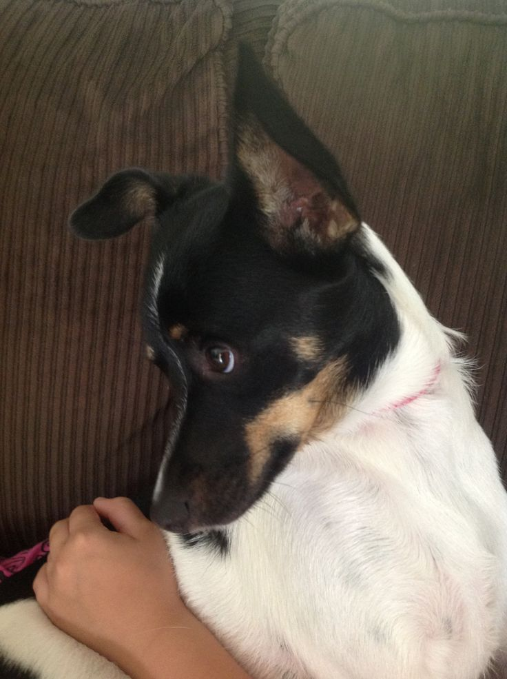 Awe this is a rat terrier looking at something