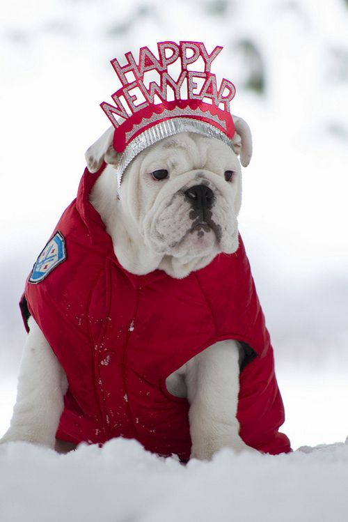 Happy New Year bulldog in the snow #animals #holidays #red