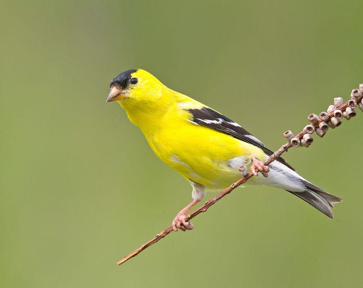 птицы чижи фото