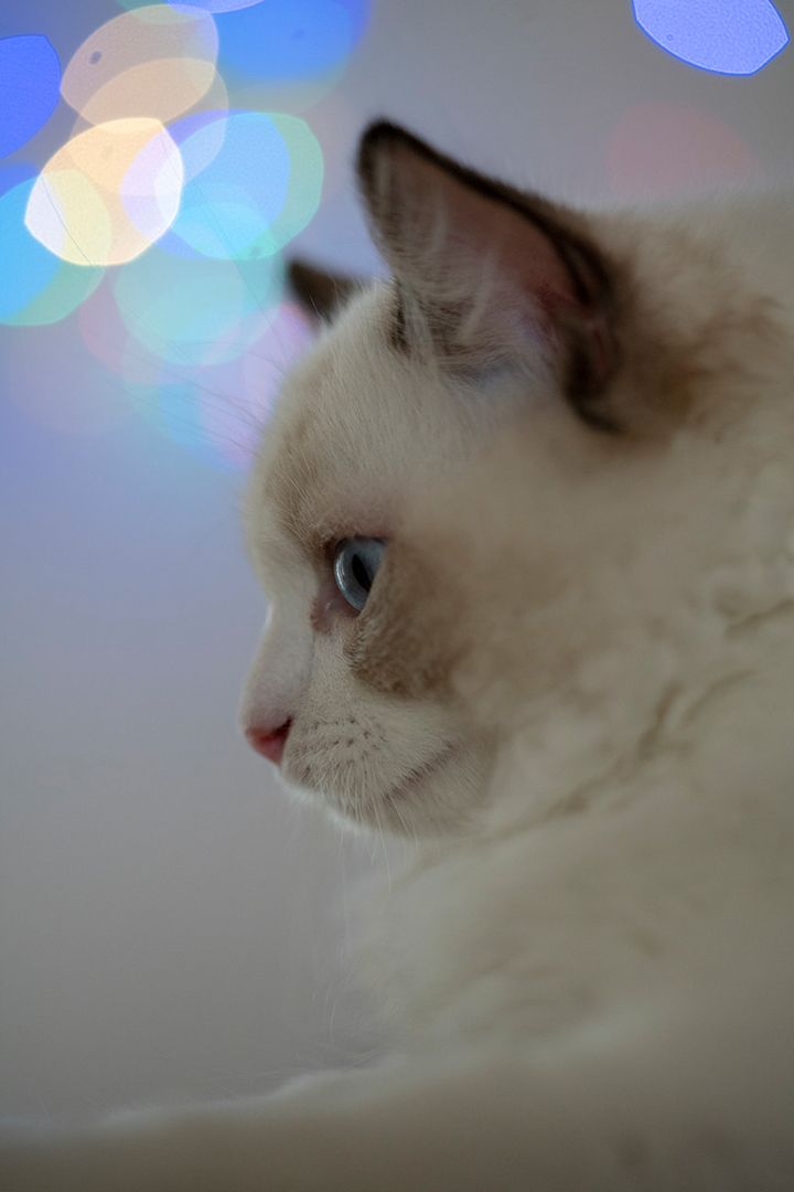 Where To Find Ragdoll Kittens For Sale If You Are Looking To Buy A Ragdoll Kitten Or Adopt It Might Seem Straightforward However There Are Many Things You Sh In 2020