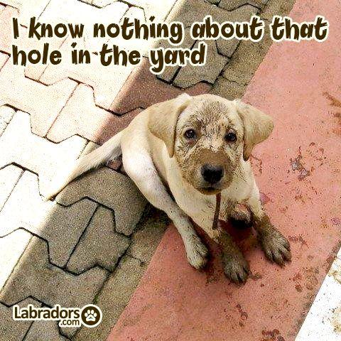 Best Dog Food Fir Labradors