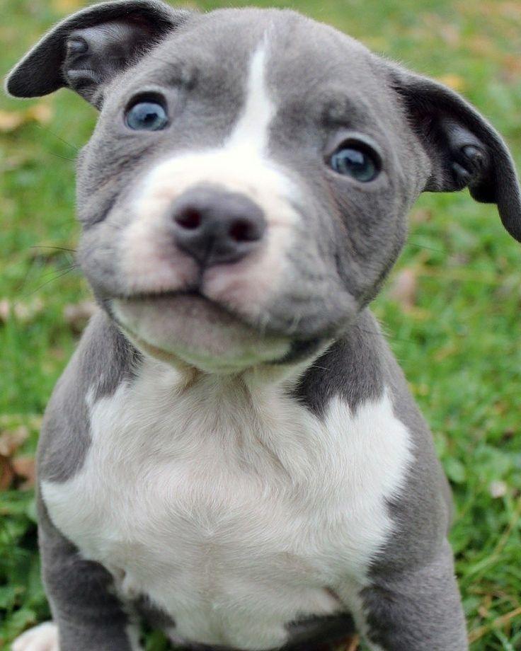 Park Art|My WordPress Blog_Xl American Bully Puppies For Sale Georgia