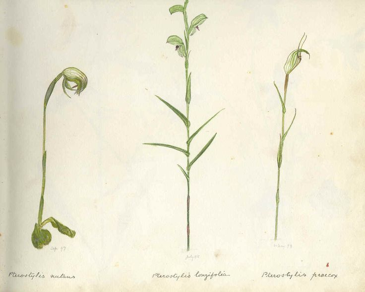 Flower painting of native orchids Pterostylis nutans, Pterostylis longifolia and Pterostylis praecox by William Lewis May (1861-1925)