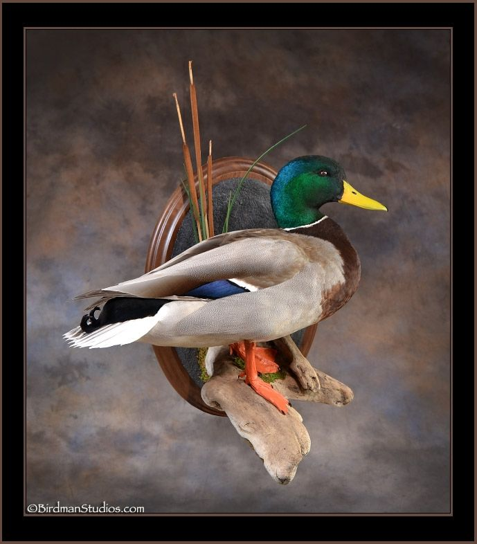 48 Best Duck Taxidermy Images On Pinterest