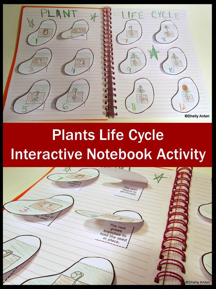 Plants Life Cycle: Your students will love this hands-on plants interactive notebook activity. The students will cut out seed shaped flaps to attach to their interactive notebooks. (Round flaps are also provided.) Students will color and number the pictures of a plant's life cycle in order. Under each flap, students will write a sentence that describes what is happening in the picture.