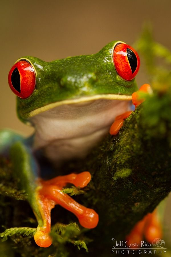 Red eyed - Tree frog by Jeffrey Muñoz