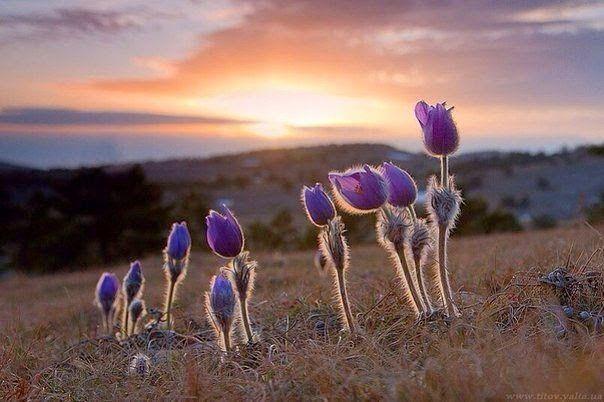 Сон-трава,Крым