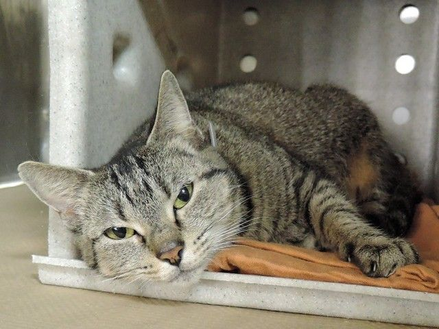 LC - A1106263 - - Manhattan  *** TO BE DESTROYED 03/22/17 ***   POOR LC LANDED AT THE ACC IN MANHATTAN AS SHE WASN'T ALLOWED IN HER OWNER'S NEW PAD – SHE IS UNSURE IN THE SHELTER ENVIRONMENT AND WOULD LOVE TO FIND A CAT SAVVY SOMEONE WHO LIVES IN A PET FRIENDLY HOME – PLEASE DON'T DELAY – HELP HER TODAY!! -  Click for info & Current Status: http://nyccats.urgentpodr.org/lc-a1106263/