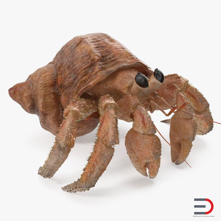 Hermit Crab with Fur 3D model
