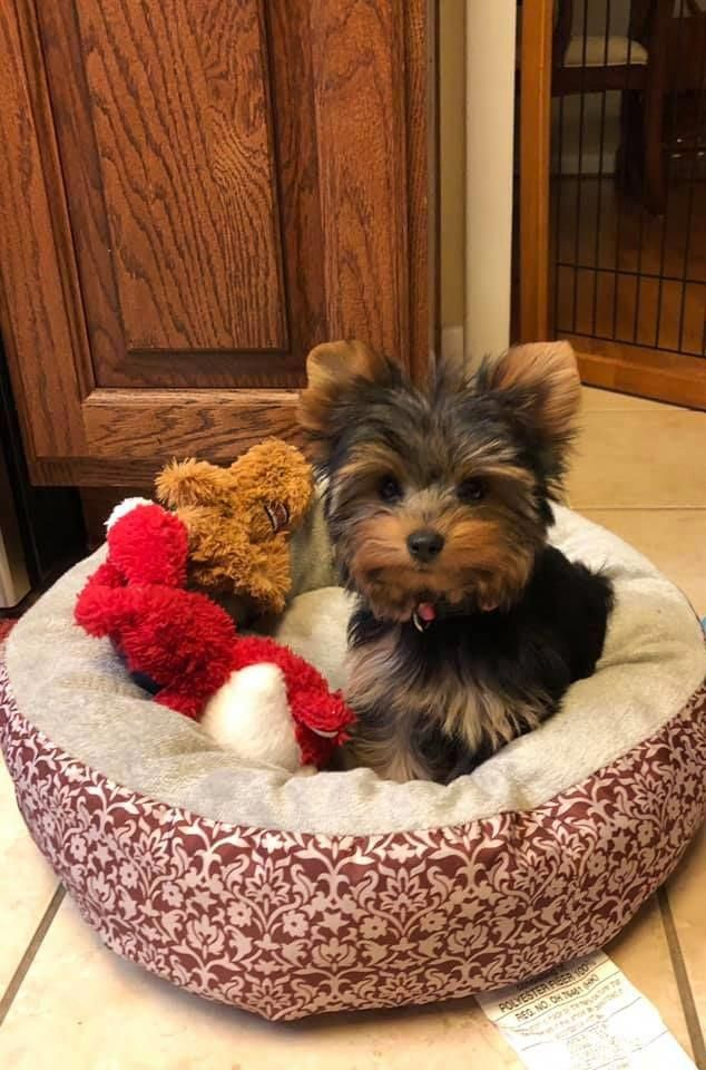 Yorkshire Terrier Energetic And Affectionate Yorkshire Terrier Puppies Yorkshire Terrier Dog Yorkie Puppy