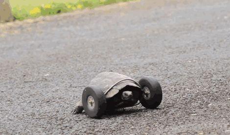 une tortue avec des roues en prothèse [video] - http://www.2tout2rien.fr/une-tortue-avec-des-roues-en-prothese-video/