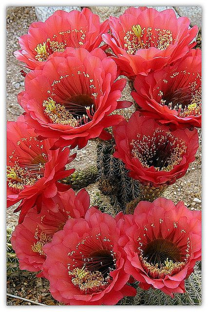 ♥cactus flowers in full bloom my love ... is passionate about life love and give his all This day is devoted to my lover ...