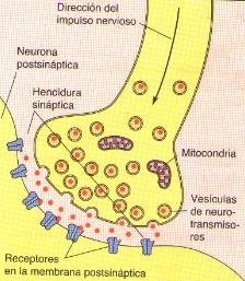 Sinapsis neuronal
