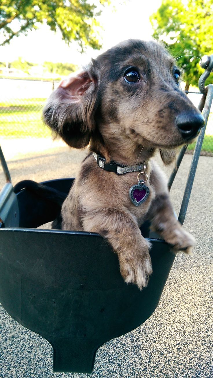 4846 best images about i love dachshunds on Pinterest ...