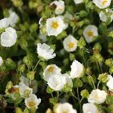 Cistus salviifolius. Nom commun : Ciste à feuille de sauge, White Rockrose.  Petites feuilles vertes et rugueuses. Fleur blanc ivoire. Port en boule dense.     Origine : Bassin méditerranéen, Caucase.