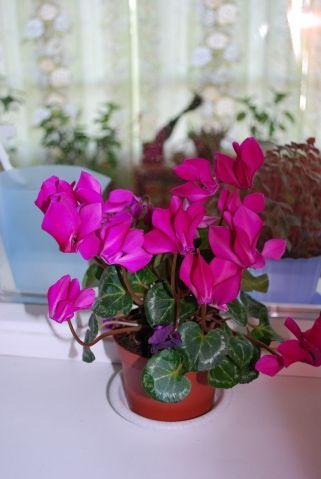 Мои цветущие растения - Садоводка