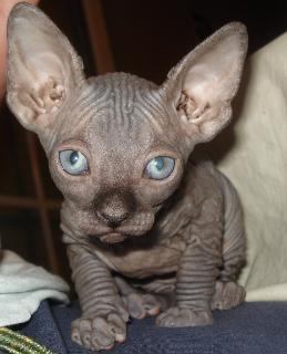 Canadian Sphynx Kitten (Neustrelitz) | markt.de (9509396)