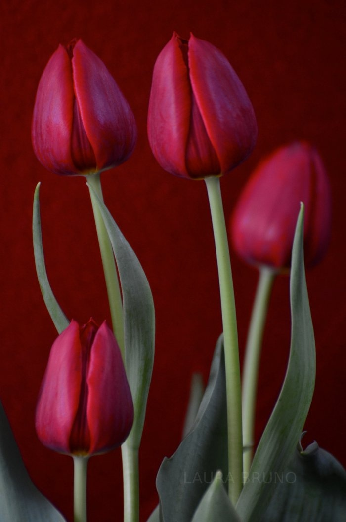 Gorgeous Tulips                                                                                                                                                     More
