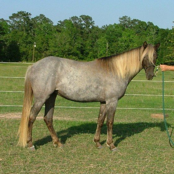 """Gem's Silver Bells,"" a rare chocolate roan Rocky Mountain filly.    Google Image Result for http://www.bluebonnetstables.com/images/Bonnie/Bonnie%2520May%252015%25202009%2520DSCF5992.JPG"