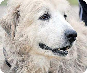 12/31/14 Beacon, NY - Great Pyrenees. Meet Elma - new!, a dog for adoption. http://www.adoptapet.com/pet/12173287-beacon-new-york-great-pyrenees