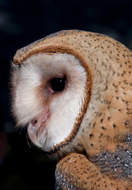 Profile of a Barn Owl.