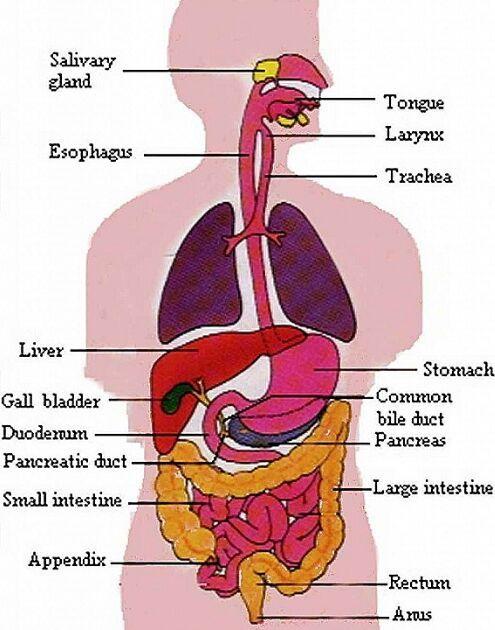 Digestive System Gross Anatomy Exersice Pinterest Human