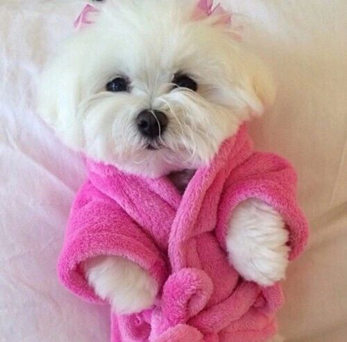 A dog in a little baby robe omg