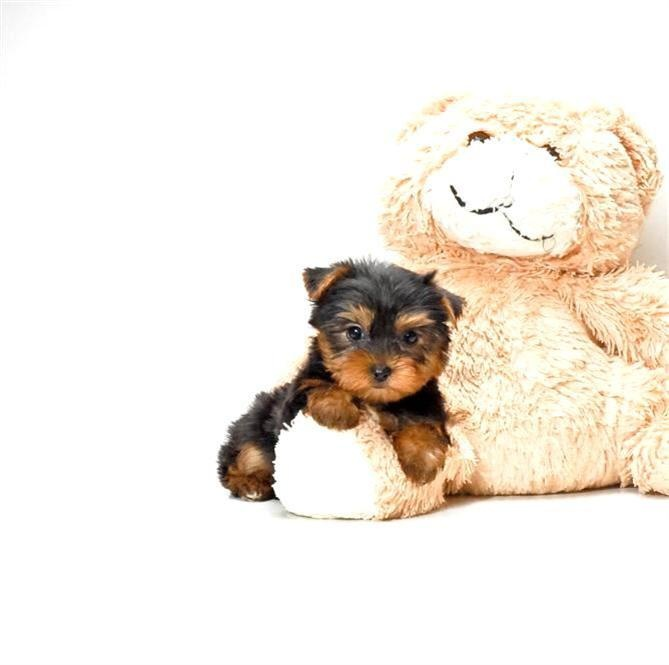 teacup yorkie puppies for sale in ohio 18 best images about puppies for sale on pinterest 1850
