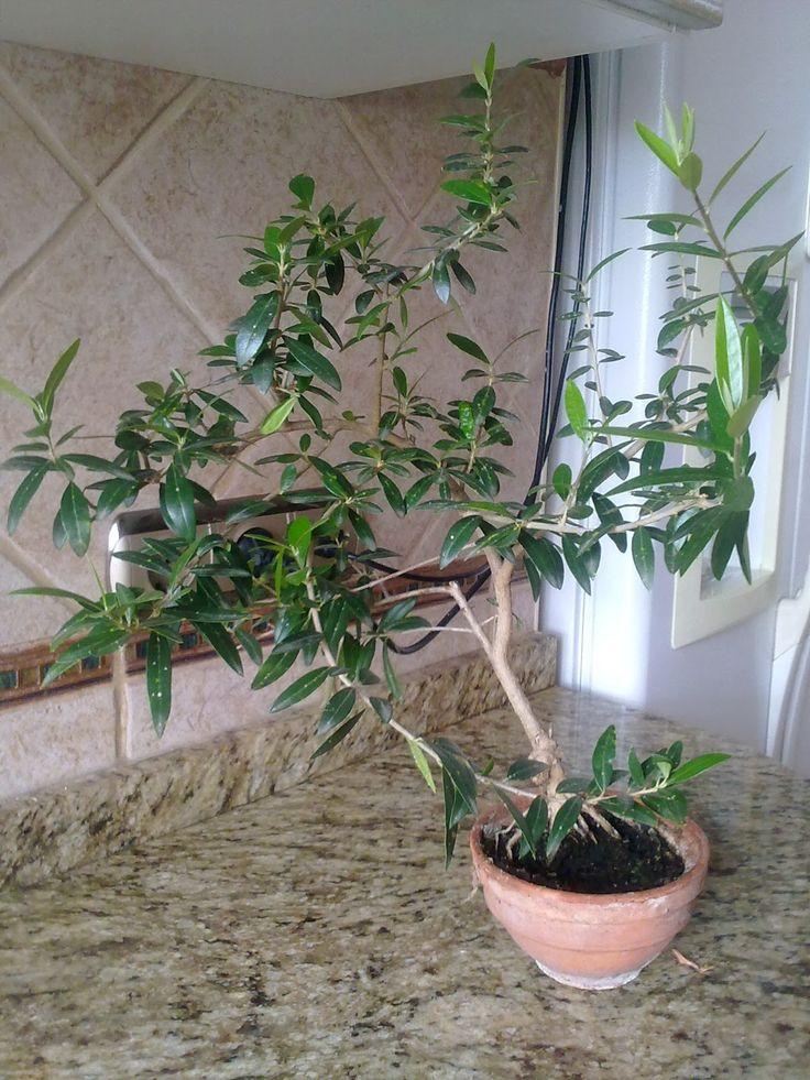bonsái de acebuche