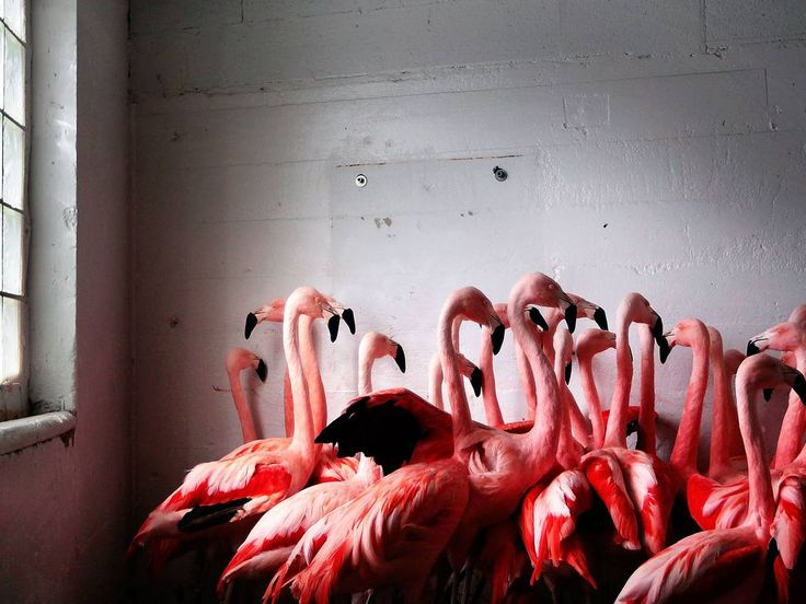 Flamingoes at the Memphis Zoo huddle together for warmth in Memphis, USA. Low temperatures gripped the South, refreezing the snow and ice...