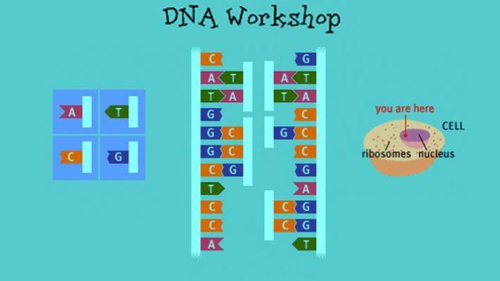 Cell Division | Transcription, translation, Dna ...